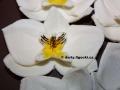 bileorchidee